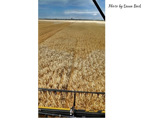 The Wheat Harvest 2015 Image